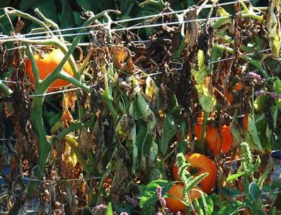 tomato-plant-fungus-disease-108